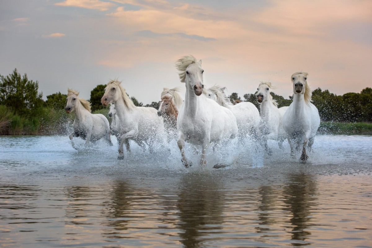 Camargue Horses Running In The Marsh